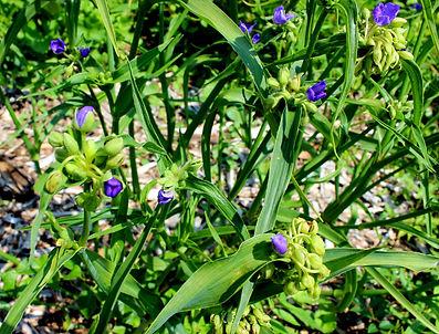 spiderwort1.JPG