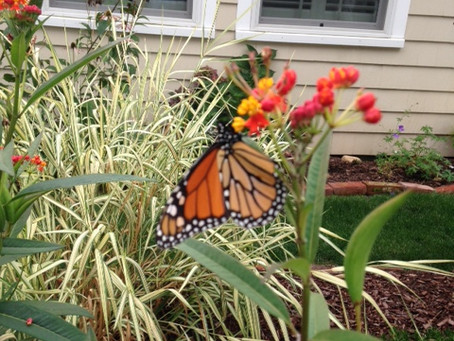 Monarch Butterflies Come to Lordship!