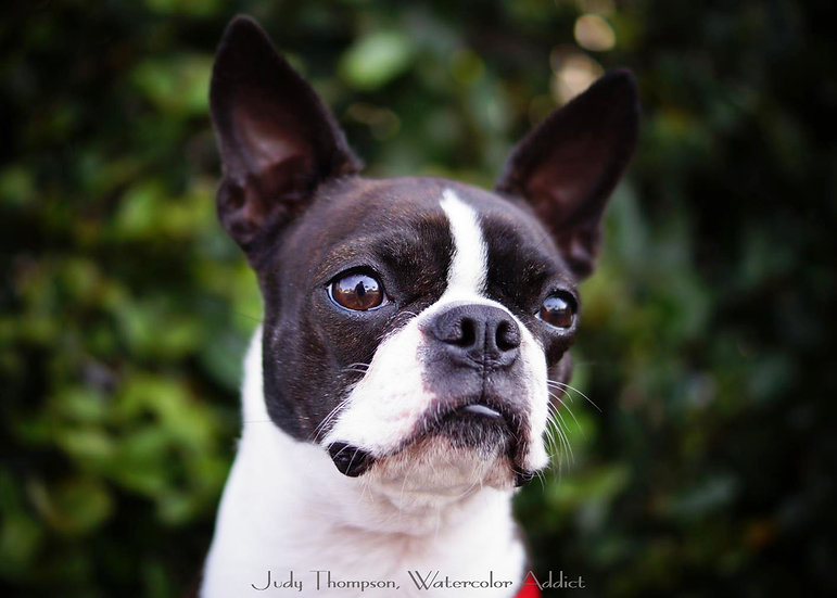 Boston Terrier I