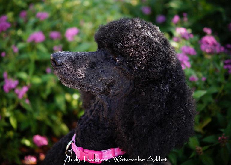 Standard Poodle I