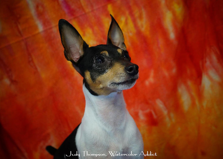 Toy Fox Terrier I
