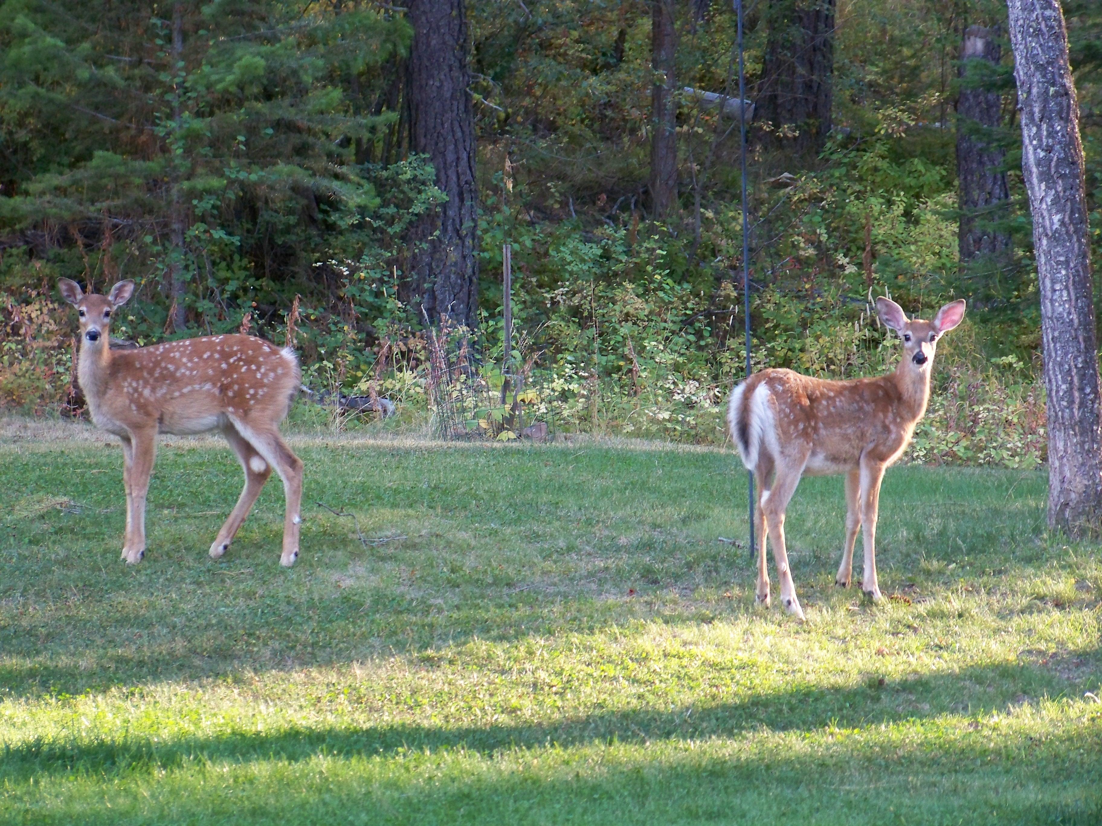 Deer in McCall