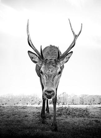 Deer Approaching