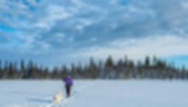Skiing with dog samoje