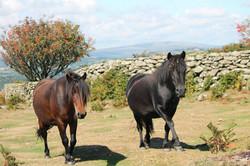 Ponies on Hunters Tor