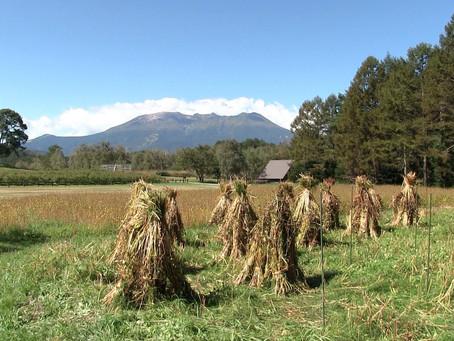 開田の伝統技法 そばの手刈り体験やりました