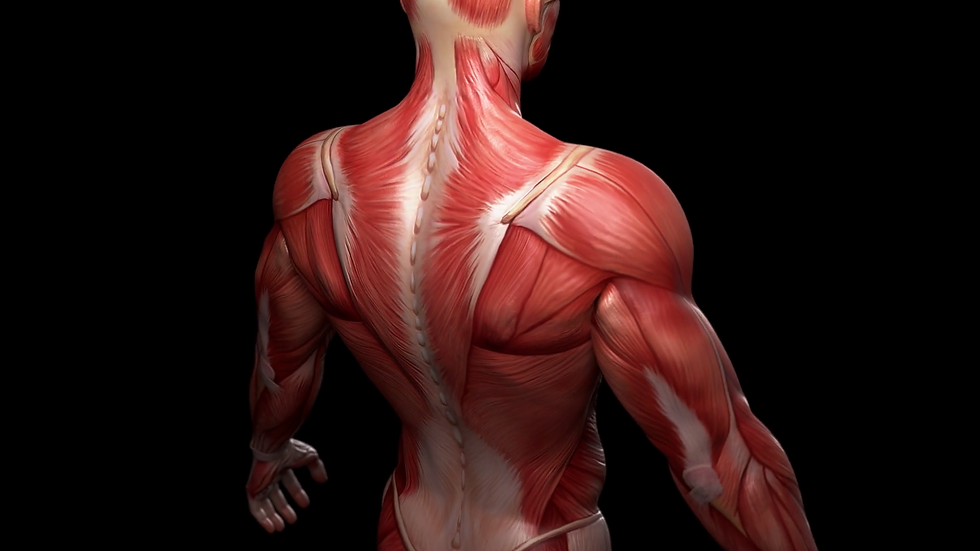 Muscular System CEU
