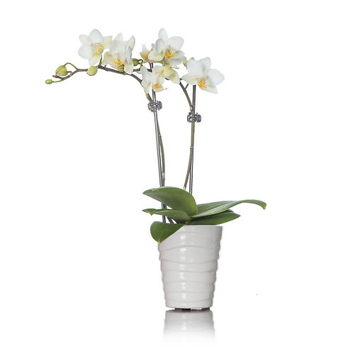 Weisse Orchidee im Topf
