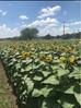 Sunflower Mini Sessions 2020