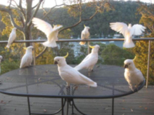 Cockatoos at dusk small.JPG