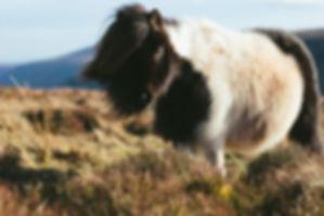 shetland-island-pony