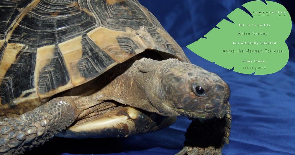 Herman tortoise adoption