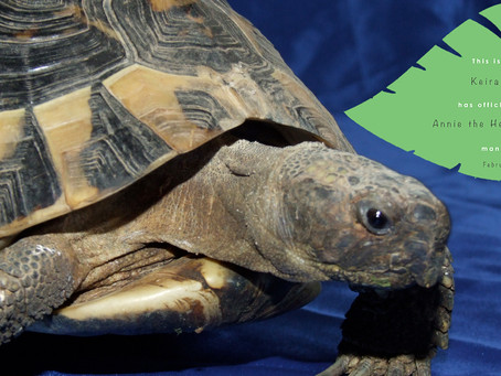 Herman Tortoise Adoption