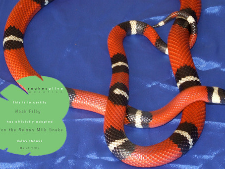 Nelson Milk Snake Adoption