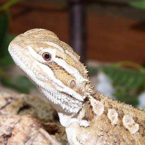 Rankins Dragon