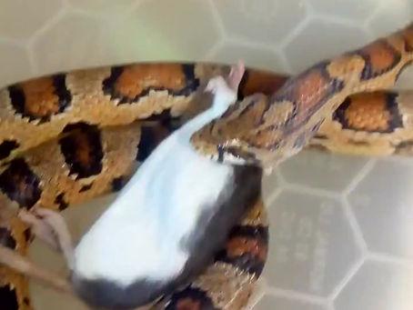 Snake feeding day!