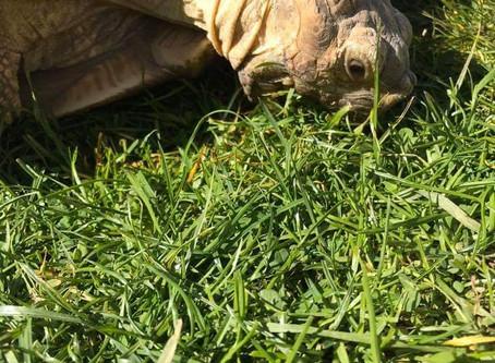 Dandelion our Sulcata Tortoise
