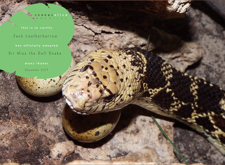 Bull Snake Adoption