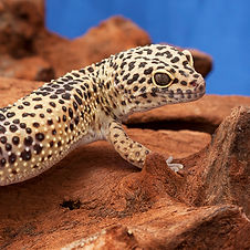 leopardgeckoadoption.jpg