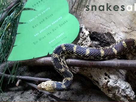 Bull Snake Adoption 1
