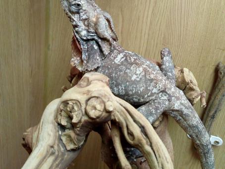 New Team Member - Dilopho a Frilled Dragon.