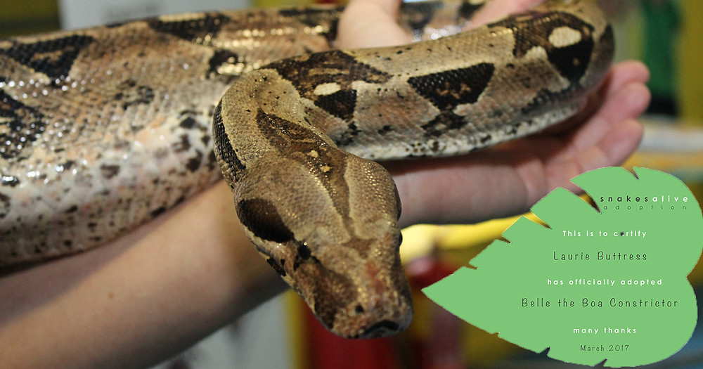Belle the Boa Constrictor