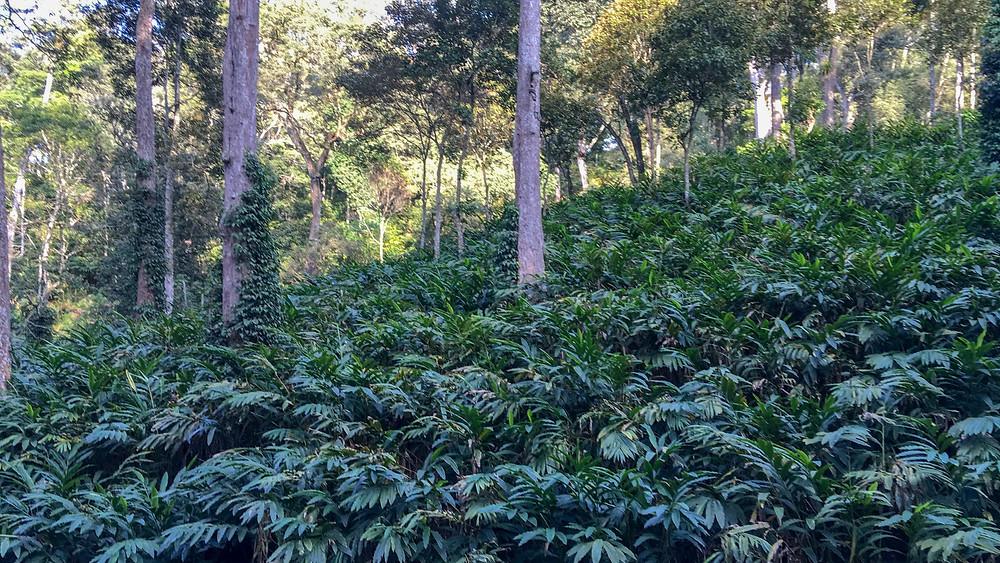 Cardamom Plantations