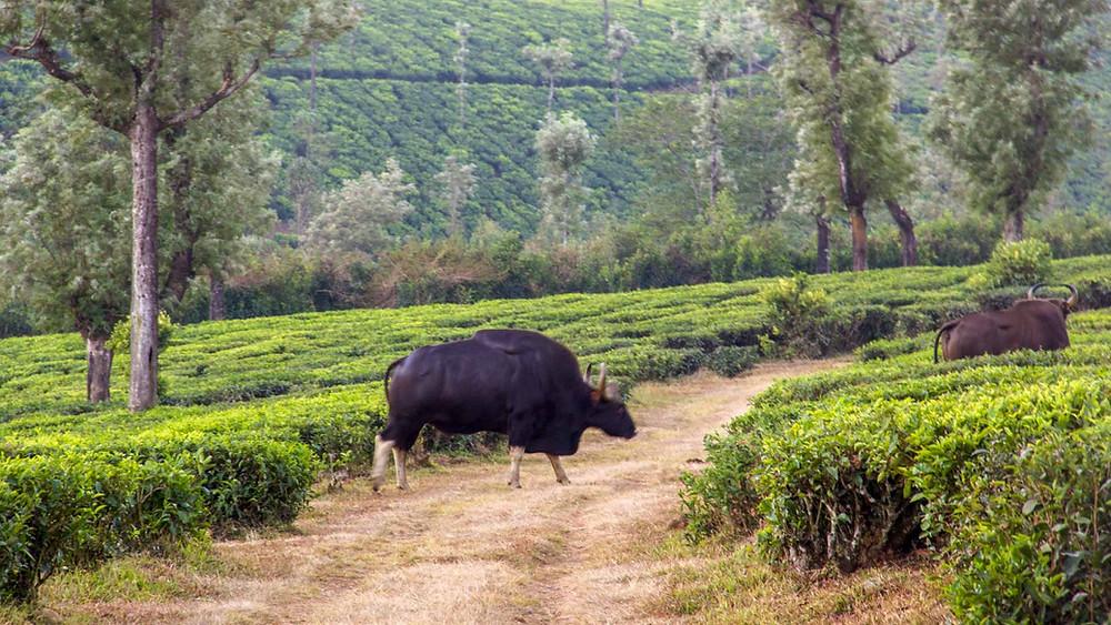Indian Gaur in Tea Plantations of Valparai