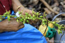 Harvesting Cardamom
