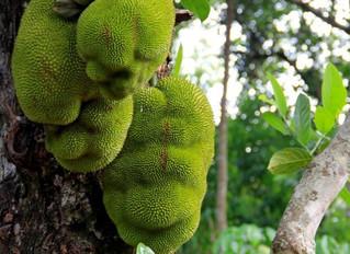The Jack fruit Story from Idukki