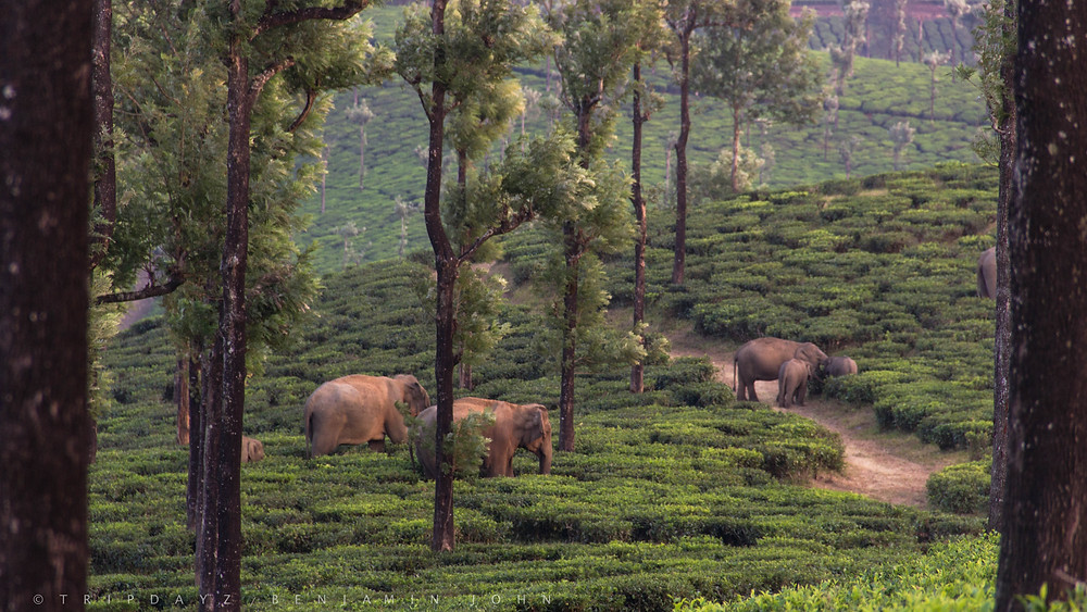 Elephants at a Tea Plantation in Valparai - Tamil Nadu