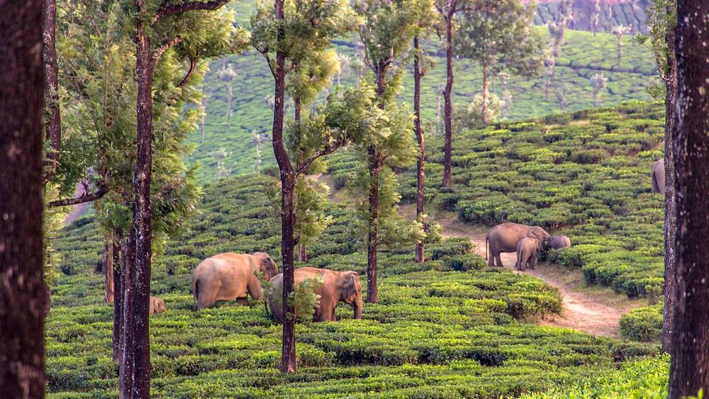 Elephants in tea plantations of Valparai