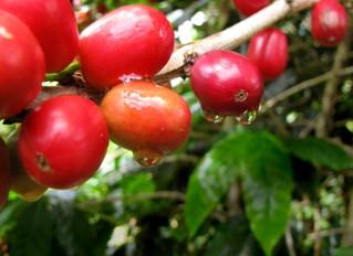 Kattan Kaapi Katha – Its all about Coffee in Idukki