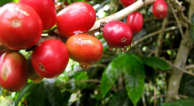 Ripe coffee fruit