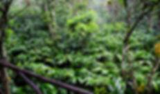 Cardamom Plantations.jpg