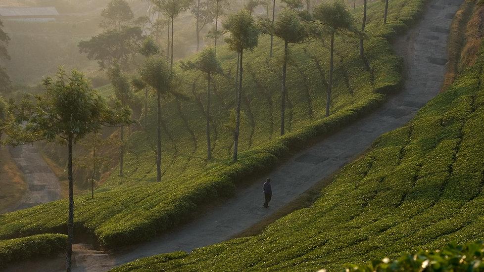 Munnar Tea Gardens.jpg