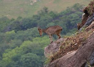Nilgiri Thar.jpg