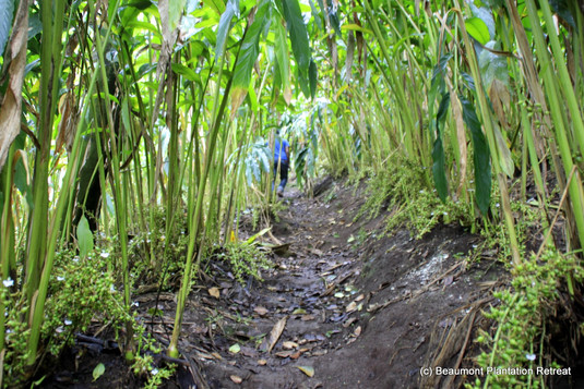 Pathways through Cardamom Plantation