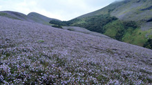 Neelakurinji Blooming : Here is the update