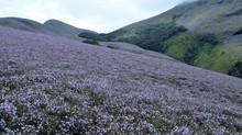 Neelakurinji Blooming : Here is the update