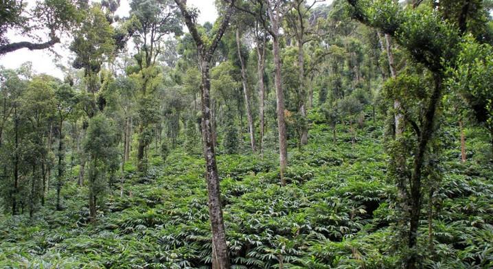 Cardamom-Plantation-Thekkady