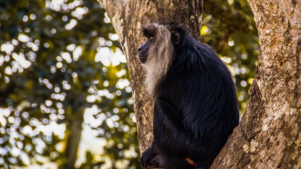Lion Tailed Macaque at Valparai