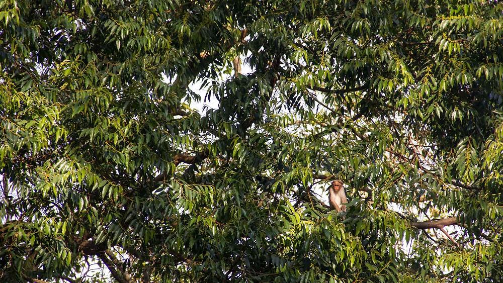 Monkeys hiding in Trees