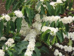 Coffee flower blooming