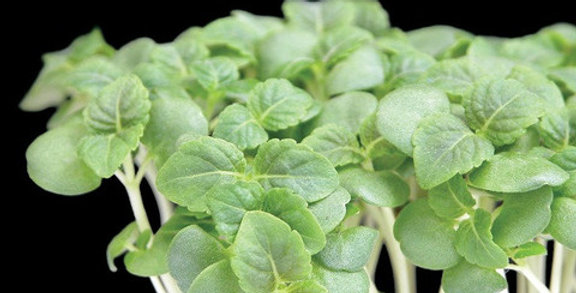 "Кресон мини ""Shiso green cress"" 1опаковка"