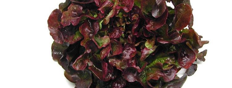 Био салатка червена дребна 1брой Софина