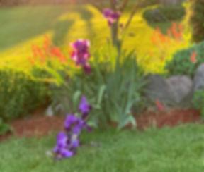 Fallen Iris_edited.jpg