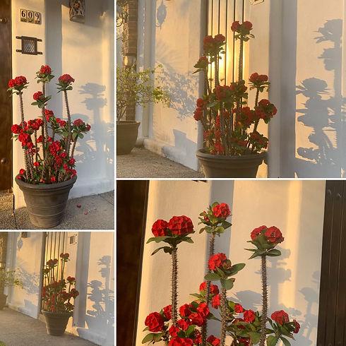 FlowersCrownOfThorns 1.jpg