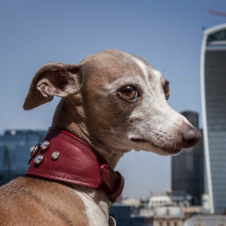 Siena Lucrezia, Top dog