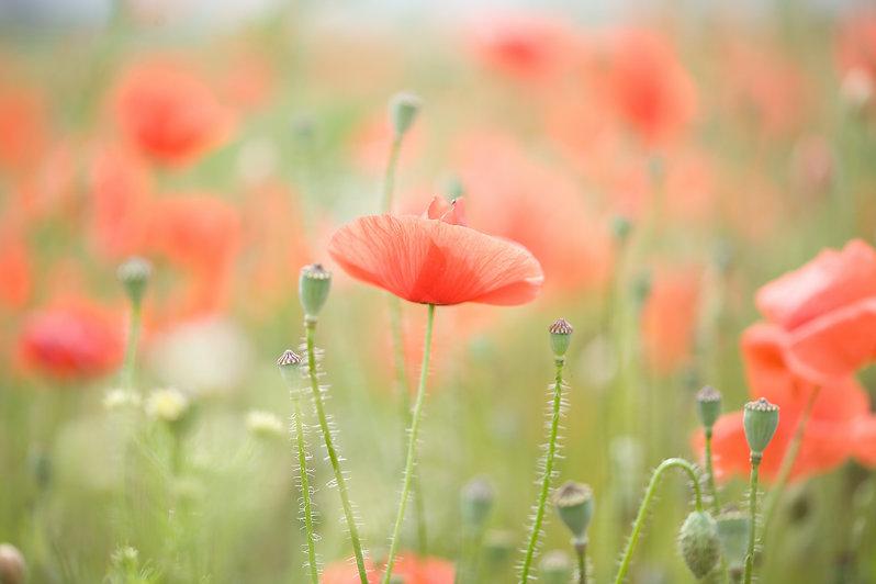 poppies by isabella kramer on unsplash
